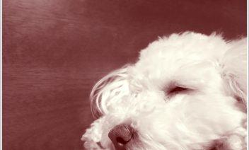 犬のカラーリング(毛染め)は危険?安全で正しいやり方とは?